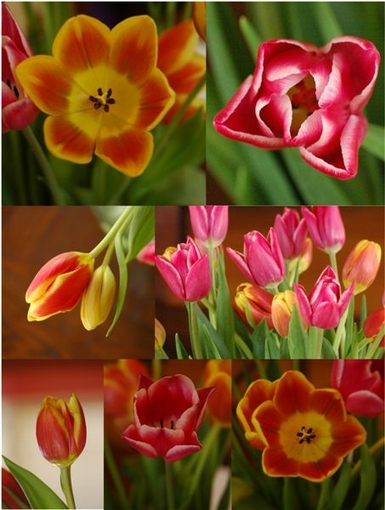 Tulips_collage
